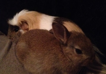 Wiggles - Guinea Pig