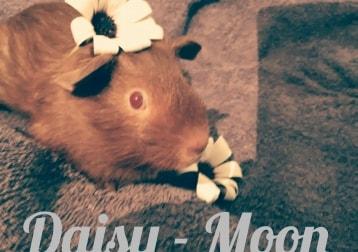 Daisy-Moon